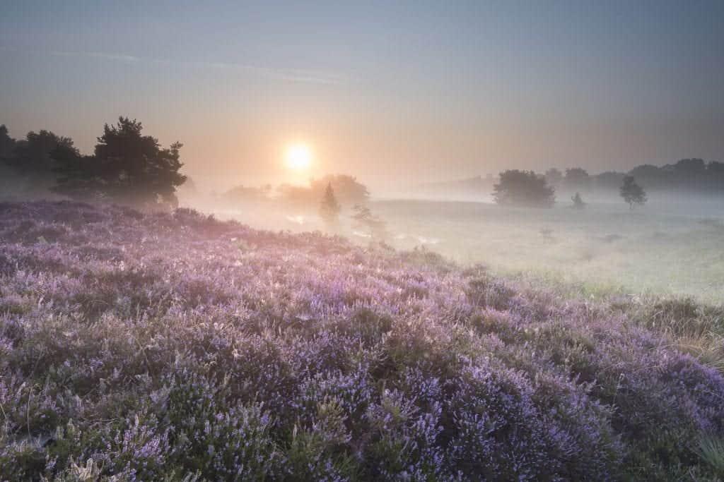 De bloeiende heide in Boxtel tijdens de zonsopkomst