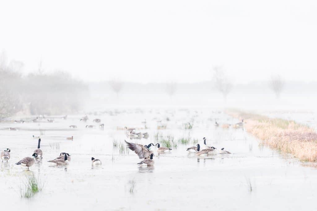 Ondergelopen weiland met water en tientallen ganzen