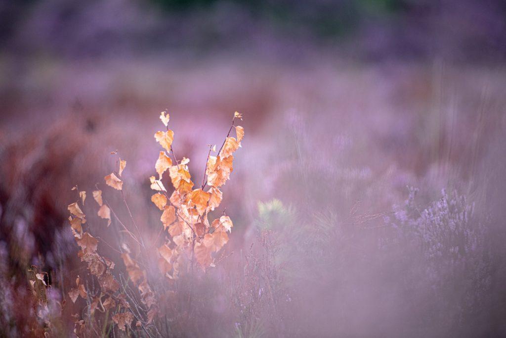 Fotograferen van de bloeiende heide